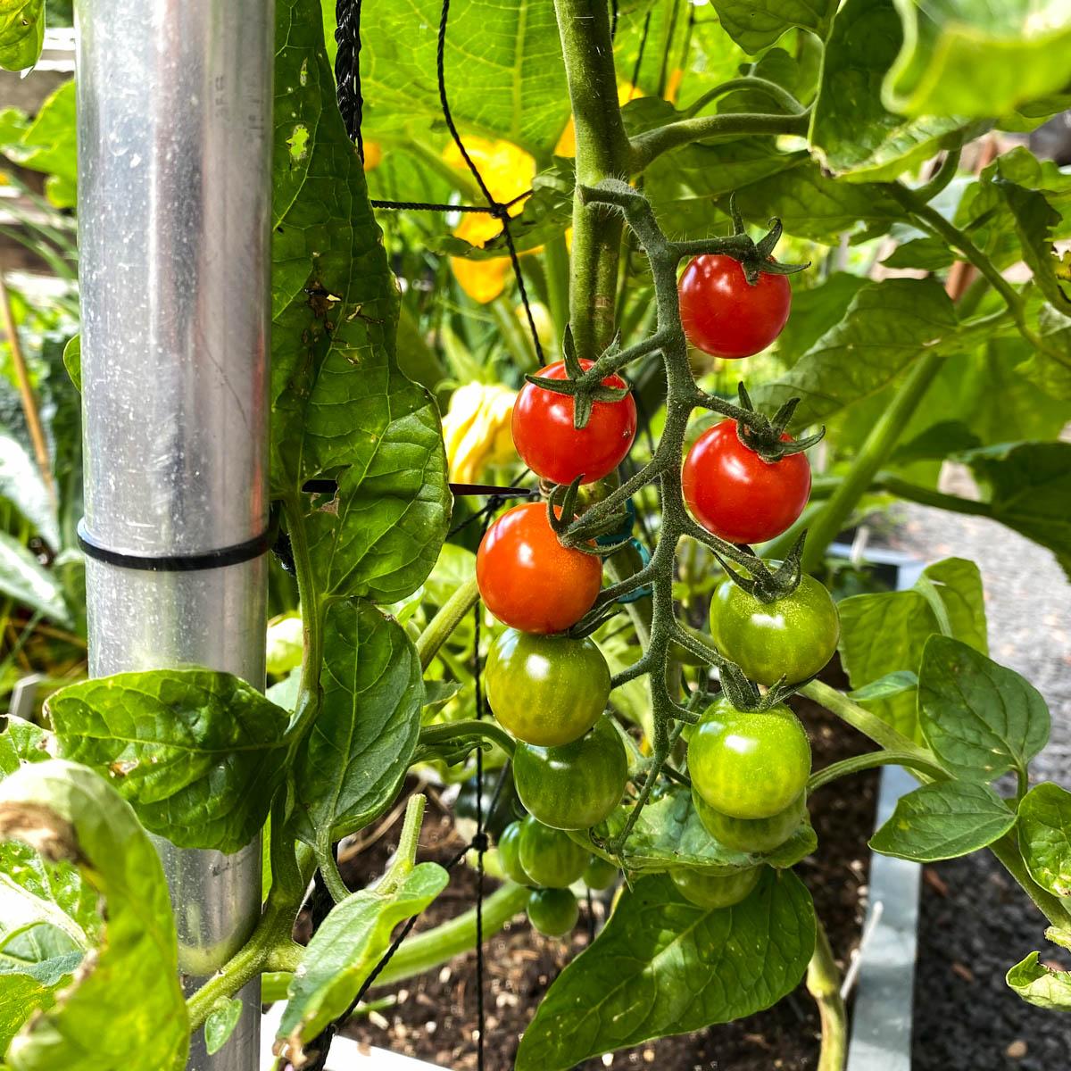 De eerste tomaatjes zijn rijp om te plukken in de Makkelijke Moestuin