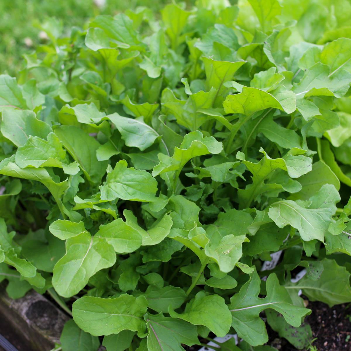 Oogst-bare rucola plantjes in de Makkelijke Moestuin
