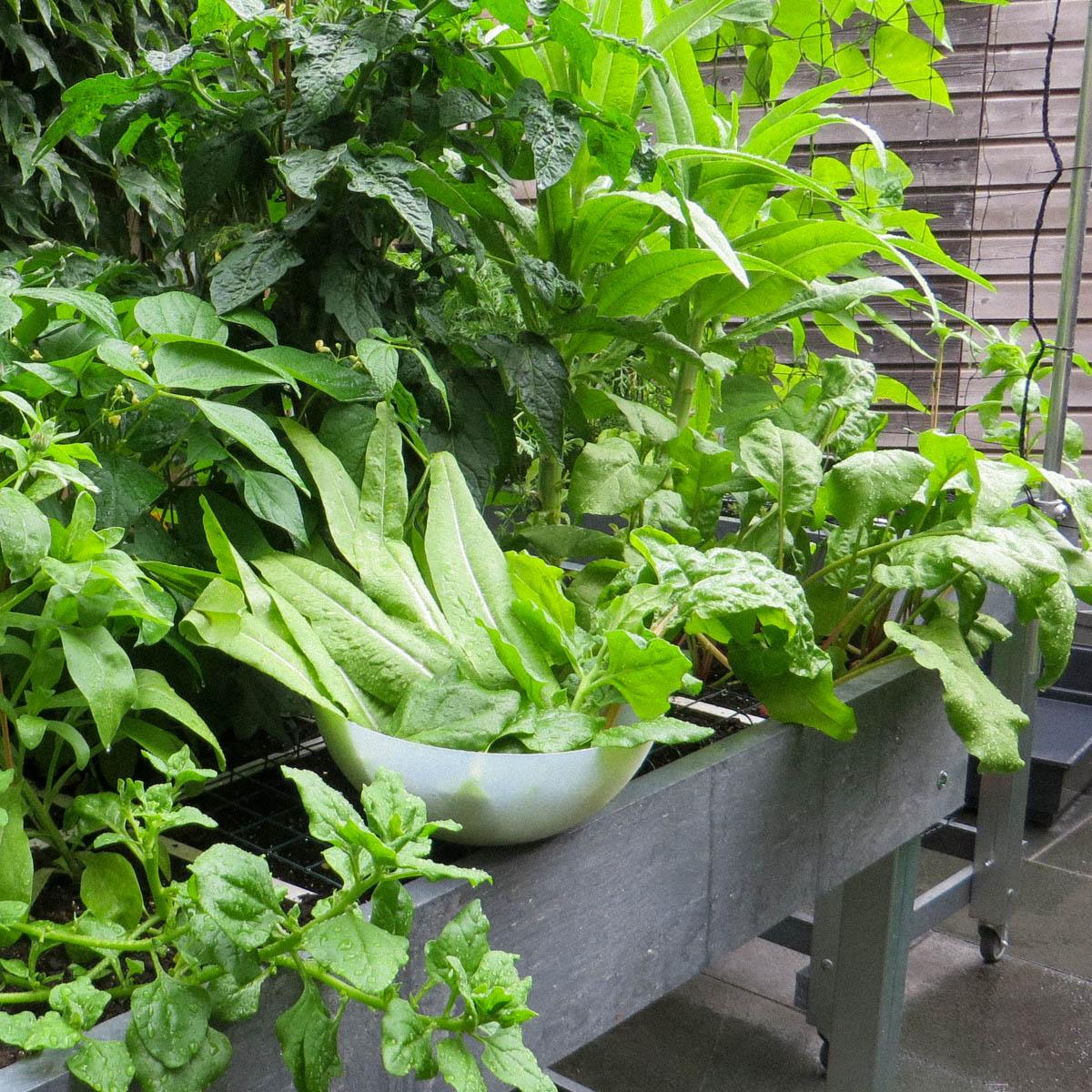 Stengelsla en andere groentes uit de Makkelijke Moestuinbak