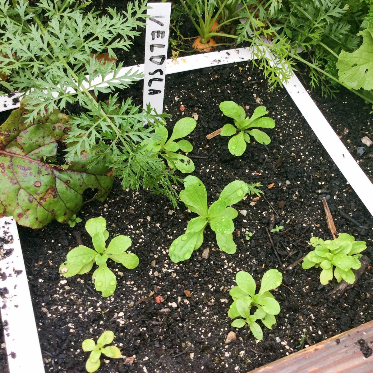 Kleine veldsla plantjes in de Makkelijke Moestuin