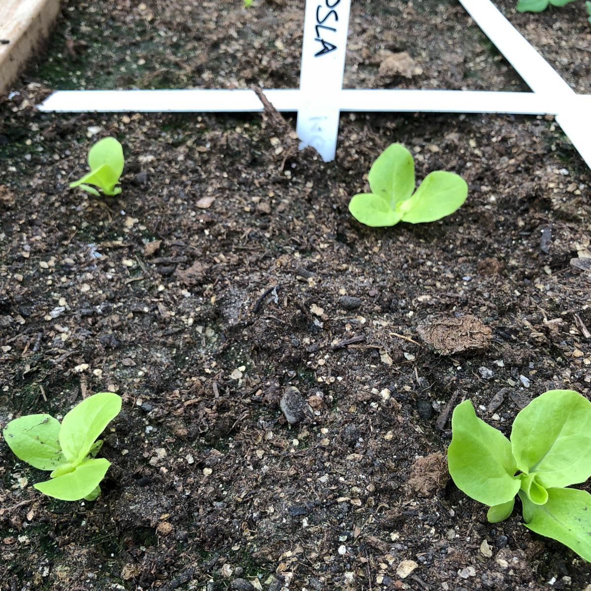 Kleine mini-kropsla plantjes in de Makkelijke Moestuin