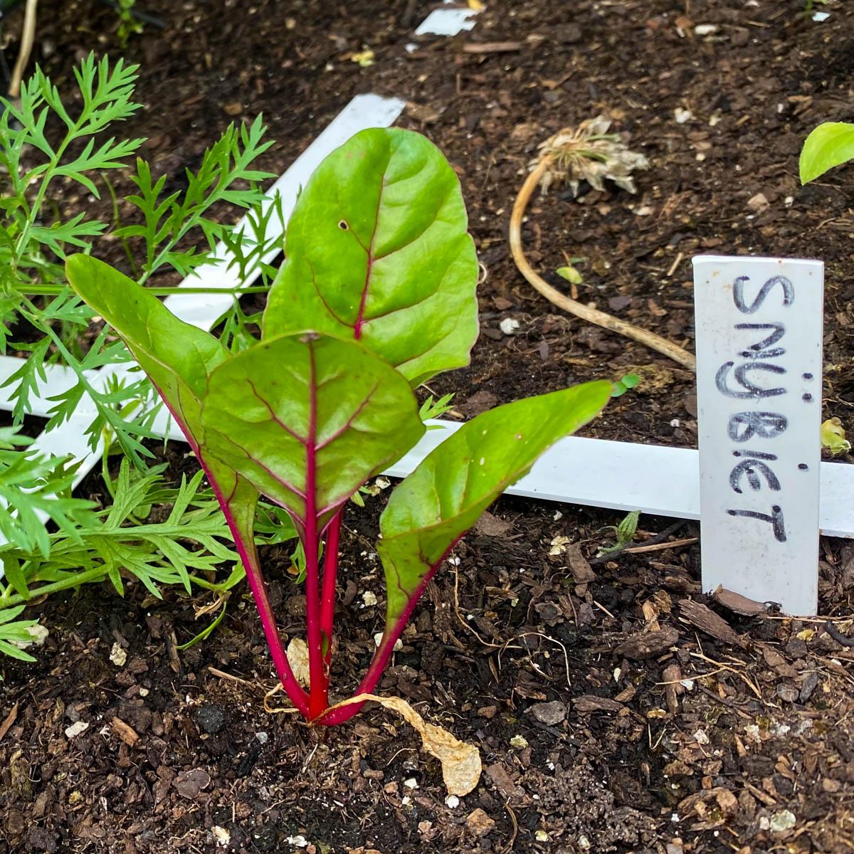 Klein snijbietplantje in de Makkelijke Moestuin
