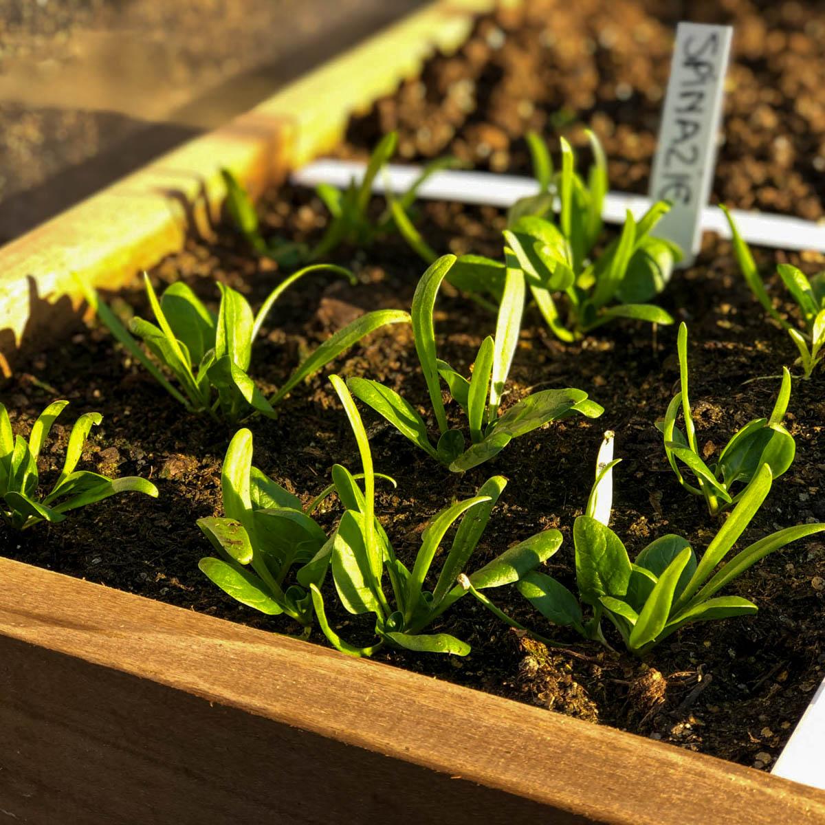 Zaailingen van spinazie in de Makkelijke Moestuin