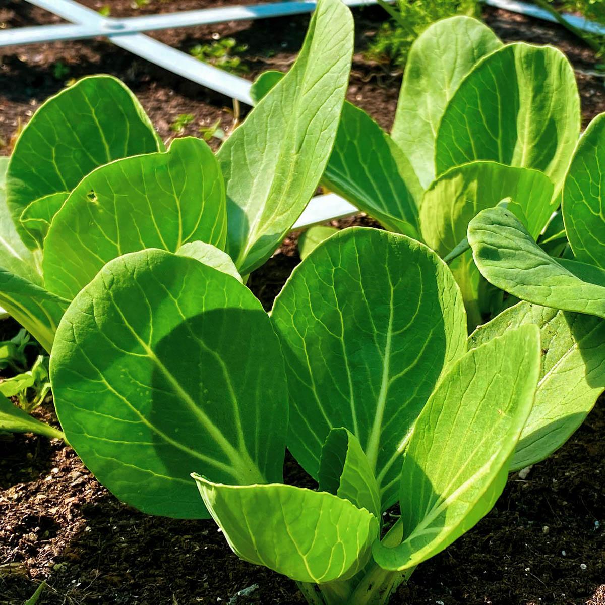 Middelgrote paksoi planten in de Makkelijke Moestuin