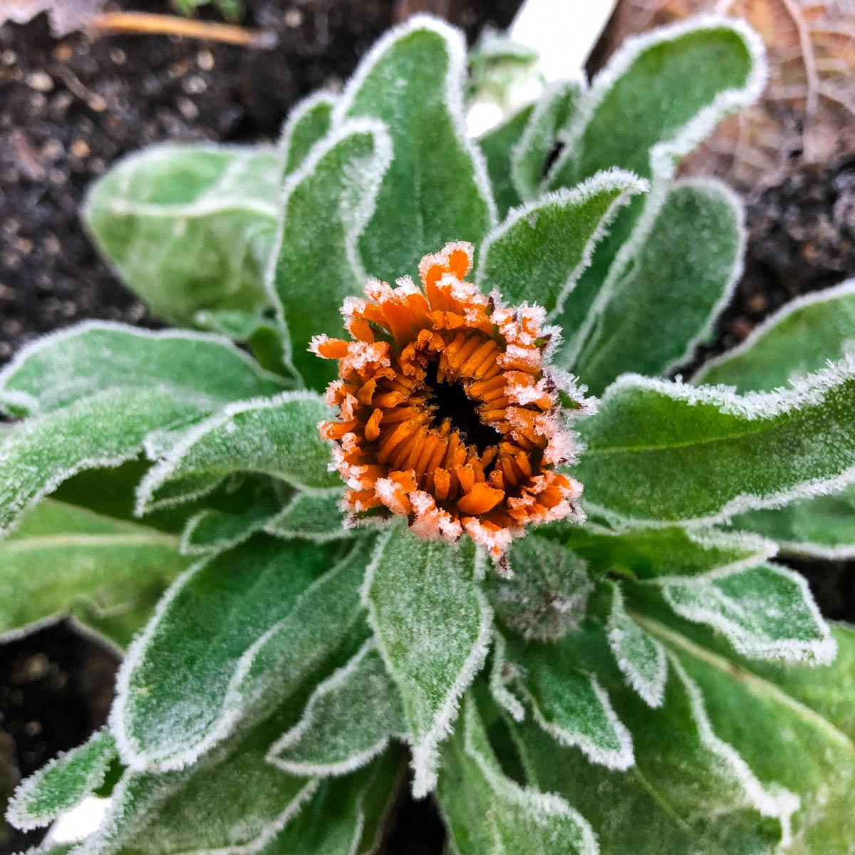 Goudsbloemen in de winter in de Makkelijke Moestuin