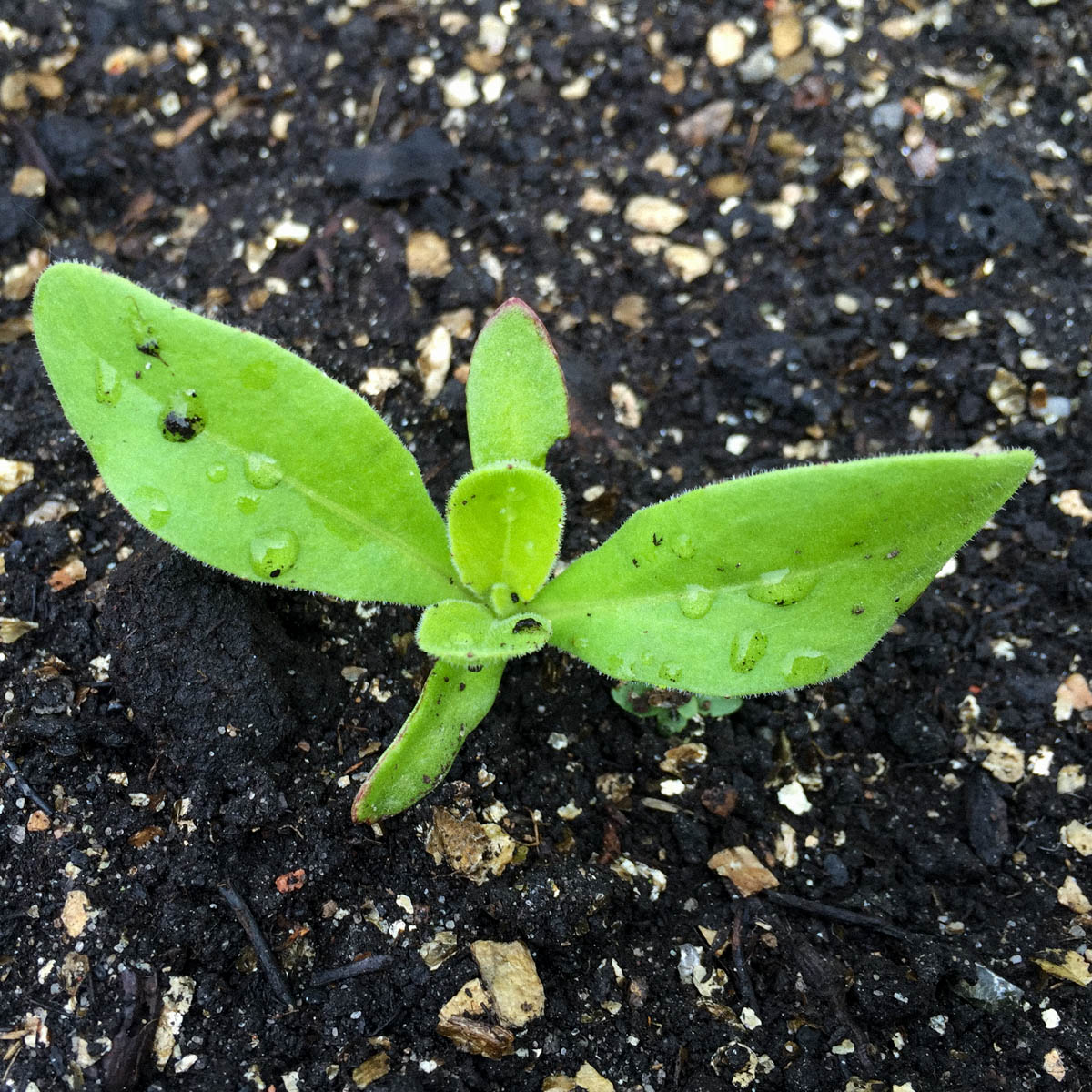 Klein goudsbloemplantje in de Makkelijke Moestuin