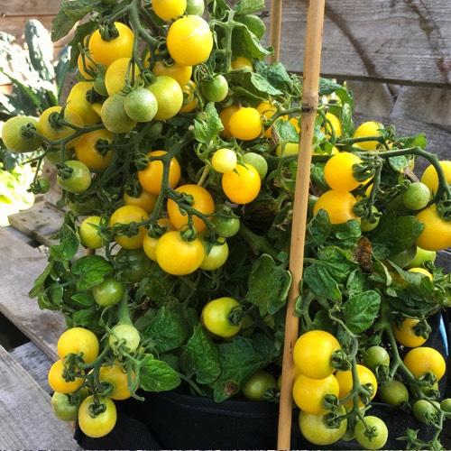 Bomvolle gele kerstomaat Gourmandise in Planty growbag