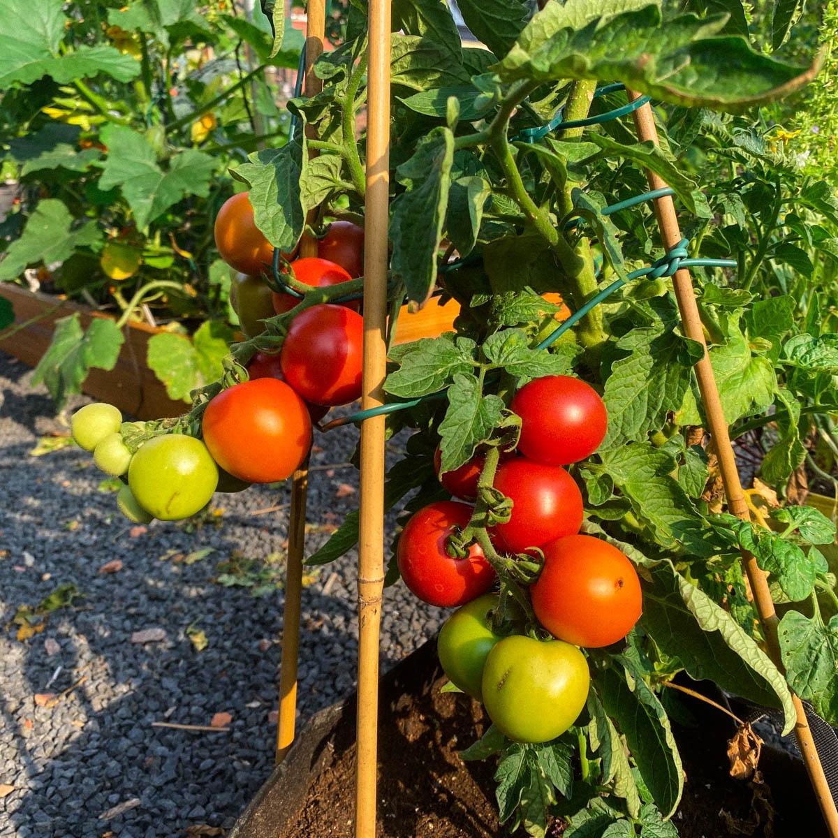 Balkon tomaat Maya in een Planty (of MM-mini)