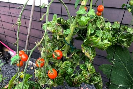 Knip lelijk blad van tomaten in het najaar zoveel mogelijk weg