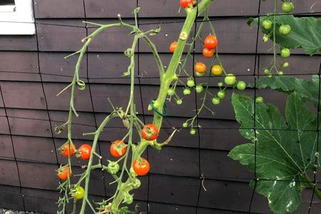 Kale tomatenplanten: zolang je een paar bladeren laat zitten geeft dat niets