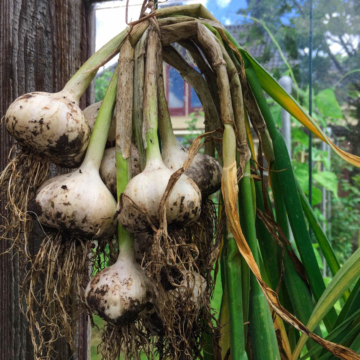 Knoflook poten in oktober in de Makkelijke Moestuin