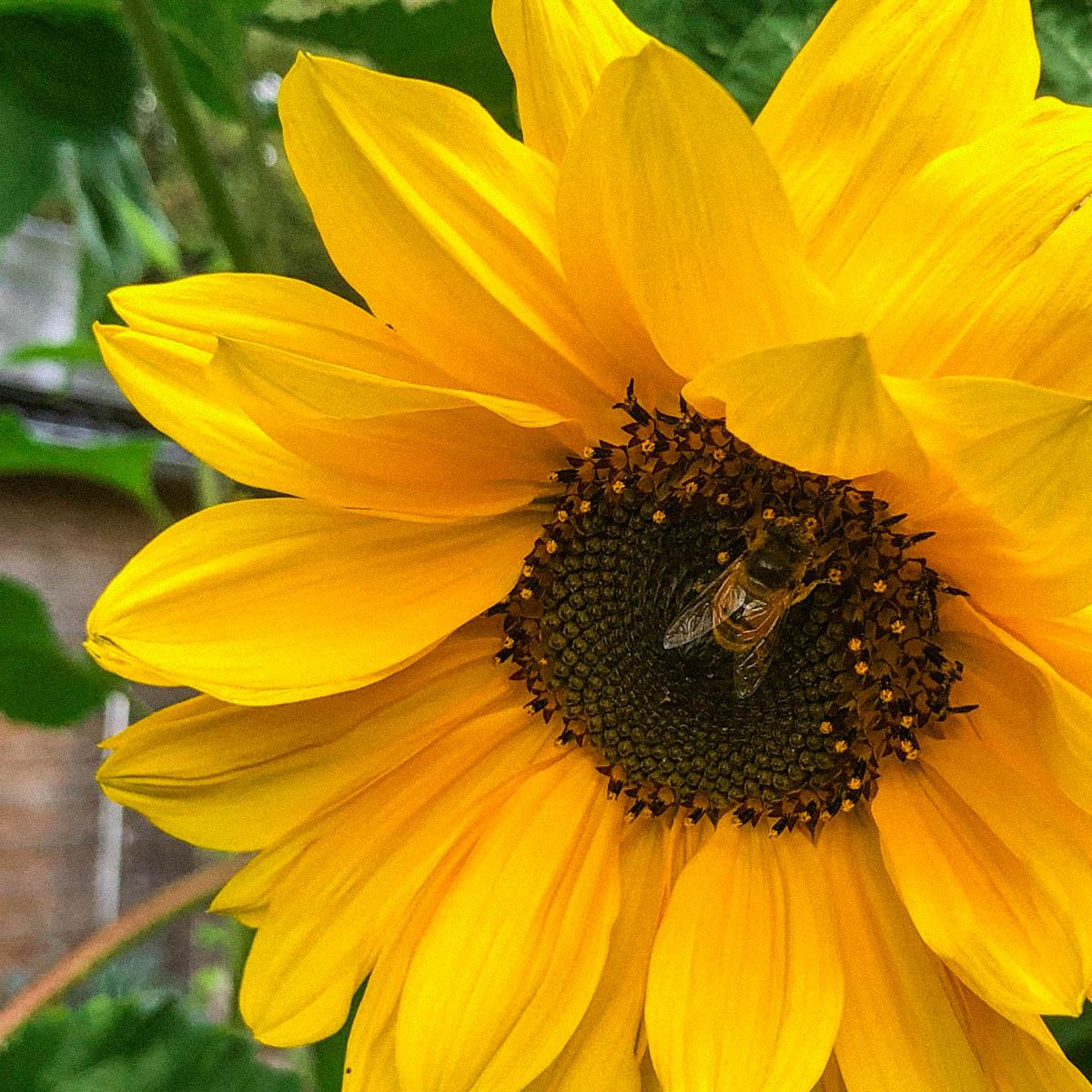 Nog lan niet uitgebloeide zonnebloemen in de Makkelijke Moestuin